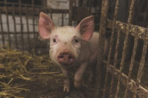 African swine fever to complicate dairy sector
