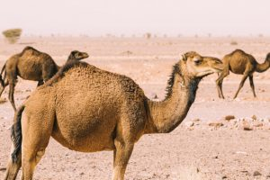 Camel dairy on the up