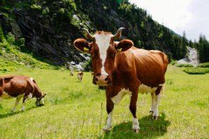 Berglandmilch promoting animal welfare